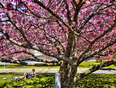Photo of student studying under a pink tree in bloom.